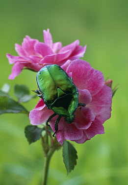 Flower Beetle (Cetonia cuprea) on rose  -  Stephen Dalton