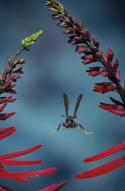 Paper Wasp (Polistes metricus) flying, Everglades, Florida  -  Stephen Dalton