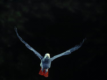 African Grey Parrot (Psittacus erithacus) flying  -  Stephen Dalton