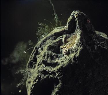Mold (Penicillium sp) on lemon, with raindrops bouncing off  -  Stephen Dalton