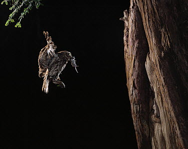 Little Owl (Athene noctua) flying to nest carrying shrew prey  -  Stephen Dalton