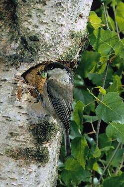 Willow Tit (Parus montanus) at nest hole with prey in beak  -  Stephen Dalton
