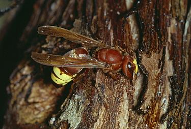 Oriental Hornet (Vespa orientalis) on bark, Lebanon  -  Stephen Dalton