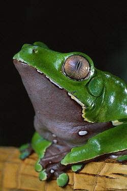 Giant Monkey Frog (Phyllomedusa bicolor), native to South America  -  Stephen Dalton