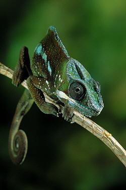 Panther Chameleon (Chamaeleo pardalis) on branch, Madagascar  -  Stephen Dalton