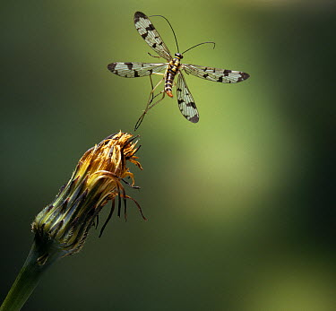 Scorpion Fly (Panorpa sp) flying  -  Stephen Dalton