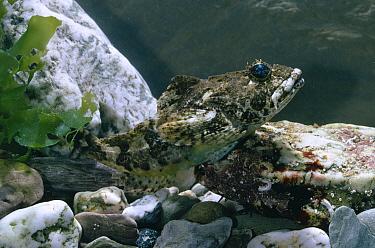 Longspined Sea Scorpion (Taurulus bubalis) underwater  -  Stephen Dalton