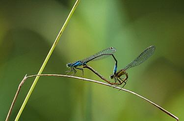 Blue-tailed Damselfly (Ischnura elegans) mating pair on reed  -  Stephen Dalton