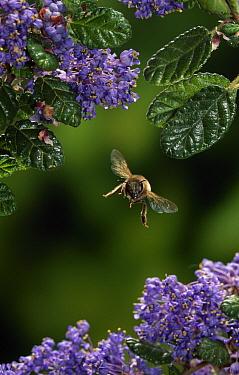 Honey Bee (Apis mellifera) flying over blossom  -  Stephen Dalton
