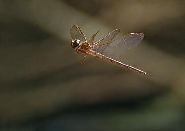 Hawker (Aeshnidae), Everglades, Florida  -  Stephen Dalton