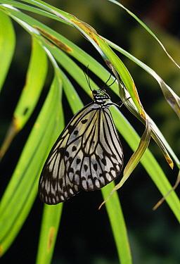 Paper Kite (Idea leuconoe) resting  -  Stephen Dalton