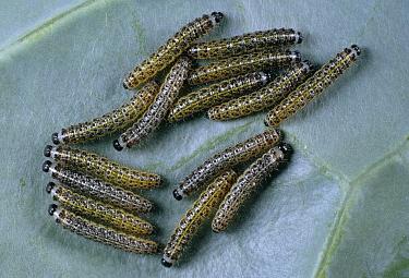 Cabbage Butterfly (Pieris brassicae) larvae  -  Stephen Dalton