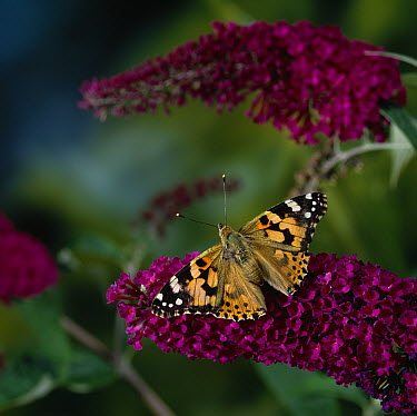 Painted Lady (Vanessa cardui) butterfly on buddleia  -  Stephen Dalton