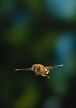 Hoverfly (Eristalis sp) flying  -  Stephen Dalton