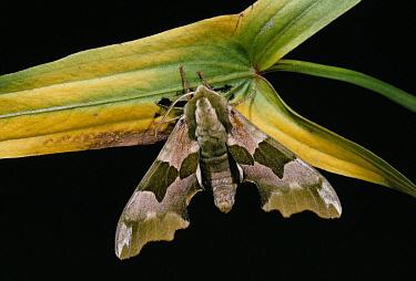 Lime Hawk Moth (Mimas tiliae) on leaf  -  Stephen Dalton