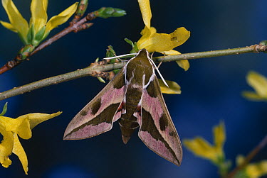 Spurge Hawk Moth (Celerio euphorbiae) on Forsythia branch near flowers  -  Stephen Dalton