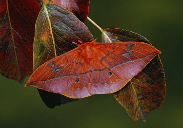 Scarlet Windowed Moth (Cricula andrei) camouflaged on leaves  -  Stephen Dalton