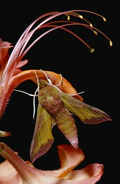 Small Elephant Hawk Moth (Deilephila porcellus) on flower  -  Stephen Dalton