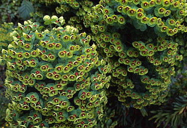 Mediterranean Spurge (Euphorbia characias) clumps flowering  -  Stephen Dalton