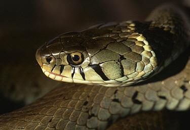 Grass Snake (Natrix natrix) close up of head  -  Stephen Dalton