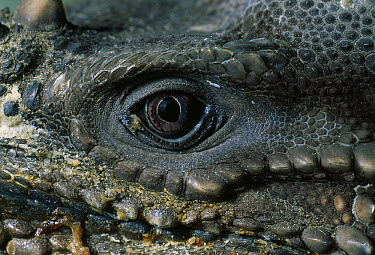 Rhinoceros Iguana (Cyclura cornuta) left eye  -  Stephen Dalton