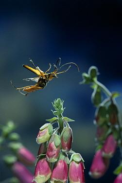 Spotted Longhorn Beetle (Strangalia maculata) flying  -  Stephen Dalton