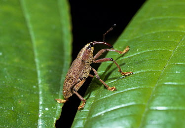 True Weevil (Curculionidae) on smooth leaf, Venezuela  -  Stephen Dalton