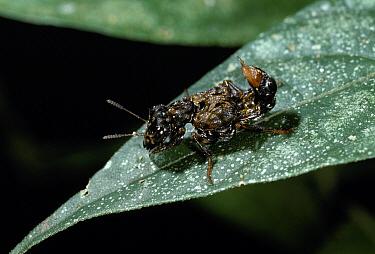 Rove Beetle (Leistotrophus versicolor) on leaf  -  Stephen Dalton