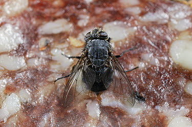 Blue Bottle Fly (Calliphoridae) on salami  -  Stephen Dalton