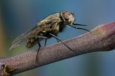 Clusterfly (Pollenia rudis) on stem  -  Stephen Dalton