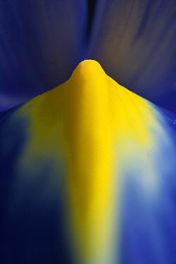 Iris (Iris sp)  -  Stephen Dalton
