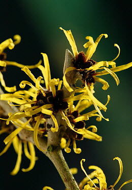 Witch Hazel (Hamamelis mollis) flowering  -  Stephen Dalton