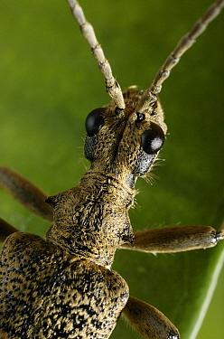Blackspotted Pliers Support Beetle (Rhagium mordax) anterior close up  -  Stephen Dalton