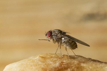 Fruit Fly (Drosophila sp) cleaning leg  -  Stephen Dalton