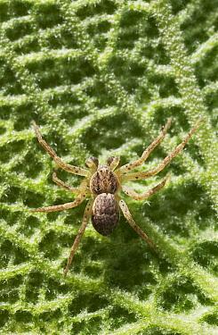 Running Crab Spider (Philodromus sp) male  -  Stephen Dalton