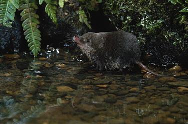 Eurasian Water Shrew (Neomys fodiens) in stream  -  Stephen Dalton