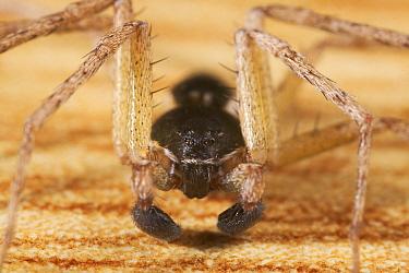 House Crab Spider (Philodromus dispar) male  -  Stephen Dalton