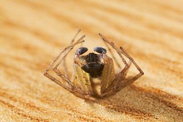 House Crab Spider (Philodromus dispar) male pretending to be dead  -  Stephen Dalton