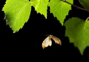 Pebble Hook-tip (Drepana falcataria) moth flying  -  Stephen Dalton