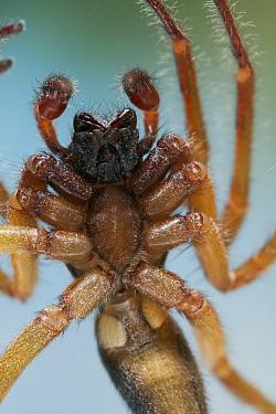 Mouse Spider (Scotophaeus blackwalli) on window-pane  -  Stephen Dalton