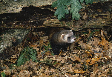 European Polecat (Mustela putorius) looking from beneath fallen tree, United Kingdom  -  Stephen Dalton
