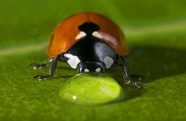 Seven-spotted Ladybird (Coccinella septempunctata) drinking  -  Stephen Dalton
