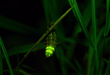 Common Glow Worm (Lampyris noctiluca) female glowing, Sussex, England  -  Stephen Dalton