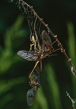 Longjawed Orb Weaver (Tetragnatha sp) spider with trapped mayflies  -  Stephen Dalton