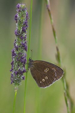 Ringlet (Aphantopus hyperantus) butterfly on grass, inflorescence  -  Stephen Dalton