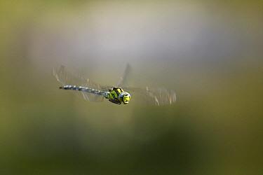 Southern Hawker Dragonfly (Aeshna cyanea) flying  -  Stephen Dalton