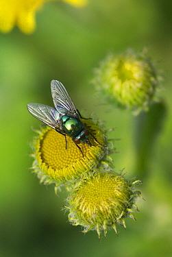 Greenbottle Fly (Lucilia caesar) feeding on fleabane  -  Stephen Dalton