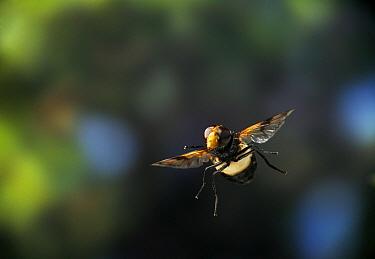 Pellucid Hoverfly (Volucella pellucens) flying, England  -  Stephen Dalton