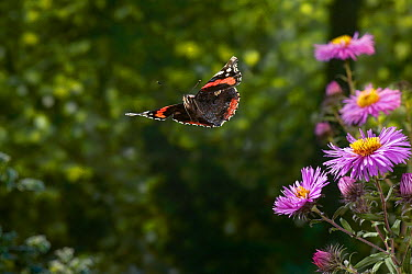 Red Admiral (Vanessa atalanta) butterfly flying shortly after taking off from Aster, Sussex, England  -  Stephen Dalton