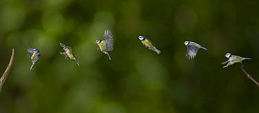 Blue Tit (Cyanistes caeruleus) take off and landing sequence, Sussex, England  -  Stephen Dalton